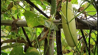 Local Cucumber growing! Farming, Agriculture