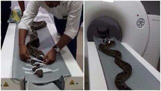Har du noen gang sett en slange få gjennomført en medisinsk skanning?