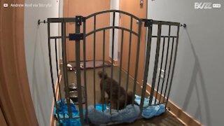 Cagnolino determinato si libera in modo geniale!