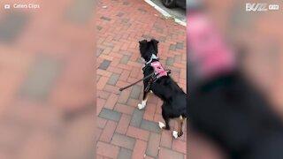 Dog howls like ambulance siren