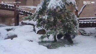 La neige amuse grandement ce joli panda