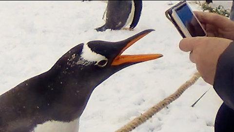 Naughty penguin bites trainer and runs away