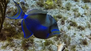 Beautiful Queen Triggerfish Has Both Looks And Brains