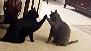 "Felines' hilarious ""high five"" greeting"