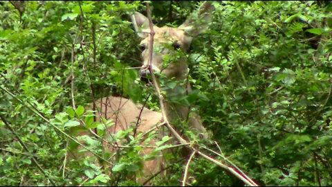 Deer Hiding in Back Yard Watching Over Surprise