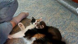 Ferret plays with cat