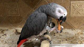 African grey parrot just loves to eat tasty shrimp