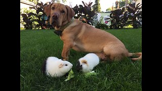 Guinea pigs unfazed by dog's crazy antics