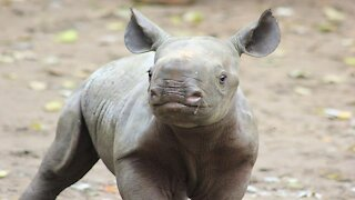 Cute Baby Rhino Charging FUNNY Compilation