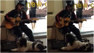 Hund og musiker synger sammen i New Zealand