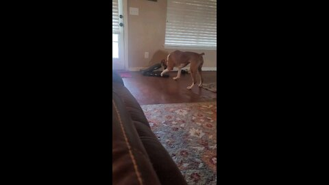 Boxer confused at the concept of shoes.