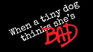 When a Tiny Dog Thinks She's Bad