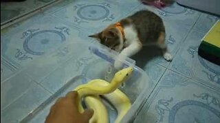 Curious cat play-fights a snake