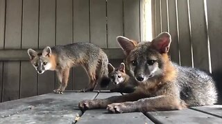 Foxes released