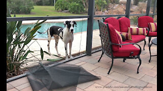 Great Dane makes his own doggy door by destroying screen panel