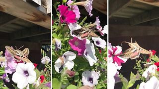 Moth Extracting Nectar From Flowers In Garden