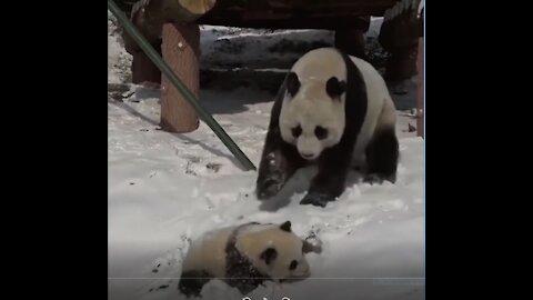 BIG PANDA TREATING BABY PANDA BAD !!!!