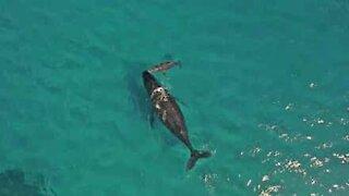 Nyfødt hval trekker pusten for første gang