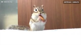 Esquilo não consegue parar de comer amêndoas