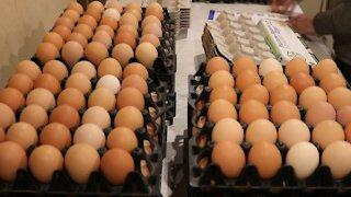 Pasture Chickens - Golden Rich Eggs