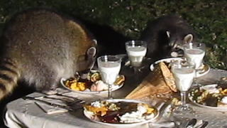 Wild raccoon celebrates Thanksgiving with his friends