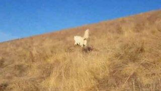 Husky reagerer til tørt gress på en morsom måte