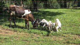 Ces chèvres se font bousculer par un veau affamé