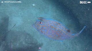 Impressionante: Peixe-vaca muda de cor! 1