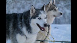 A Husky Dog Sledding in Fairbanks, Alaska in Nov. 2020