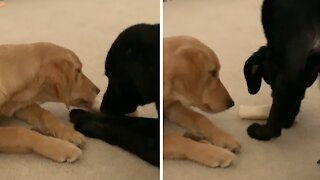 Genius pup tricks doggy friend in order to snatch her toy