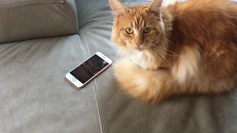 Cat loves to play games on owner's smartphone