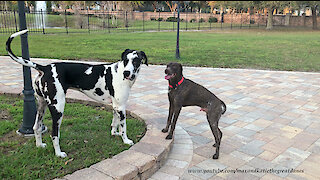 Funny Great Danes Greet GSP German Shorthaired Pointer