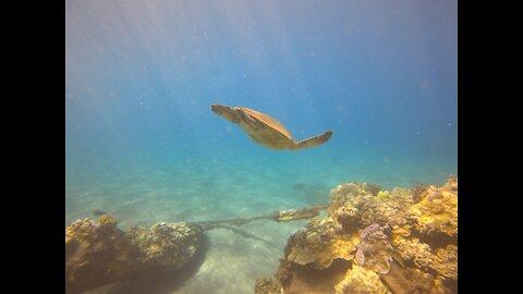 Honu floating by sunken pier