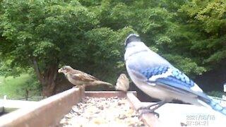 Cute House Sparrow Couple