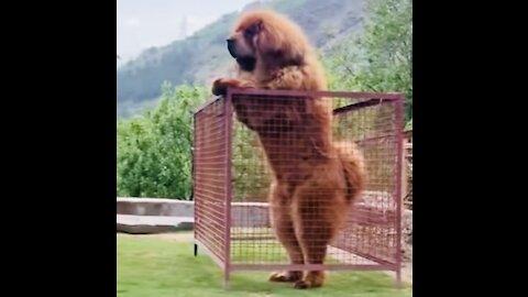 Tibetanski mastif angry 🐆🐆🐆🎥