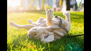 Rolling onto their backs can also be a joyful movement for dogs.