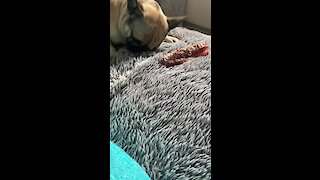 Confused Frenchie tries to bury his bone in owner's bed