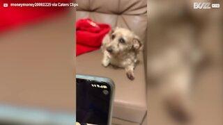 Dog goes barking mad at fake cat meows