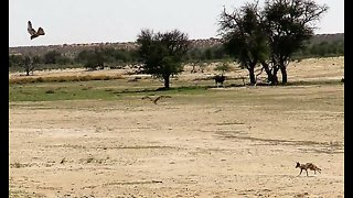 Two falcons fight for meal, jackal walks away with it