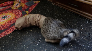 High-energy cat loves playing in paper bag