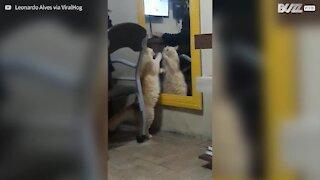 Gatto lotta contro il suo riflesso sullo specchio