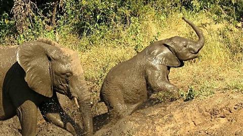 Tenacious Baby Elephant Shows Determination To Escape Muddy Riverbank