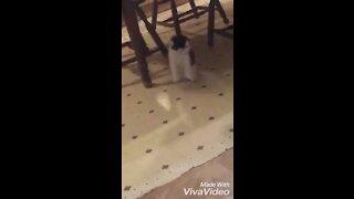 Cat doing a funny jump