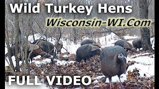 Wisconsin Wild Turkey Hens Full Video - Landman Realty LLC