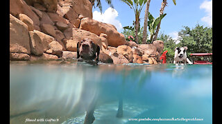 GoPro 9 Black Films Great Danes Watching Pointer Dog Swim Above And Under Water