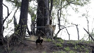 Brave honey badger rescues baby by chasing off hungry leopard