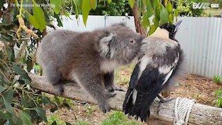 Coala e pássaro formam uma bela amizade