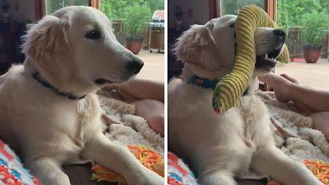 Golden Retriever puppy is still learning how to catch