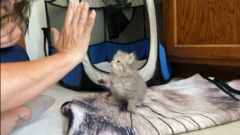 Kitten high fives for the first time!