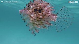 Peixe de estranha beleza aproxima-se de mergulhador